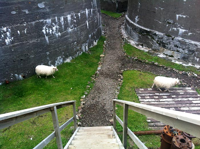 "Djúpavík. Icelandic sheep. - ""Oops, there is someone! Quickly, quickly ..."" (25 July 2012)"