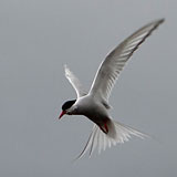 13 and 14 August 2013 – Djúpavík. Kría (Arctic tern). (10 pictures)