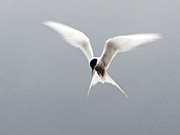 Subject 5 - Arctic Tern (Kría) - 22 pictures